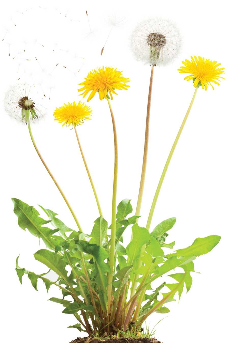 fennel dandelion greens stir fry mountain laurel copywriting